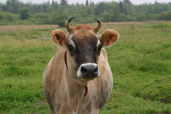 A Real Jersey Cow Like Elsie
