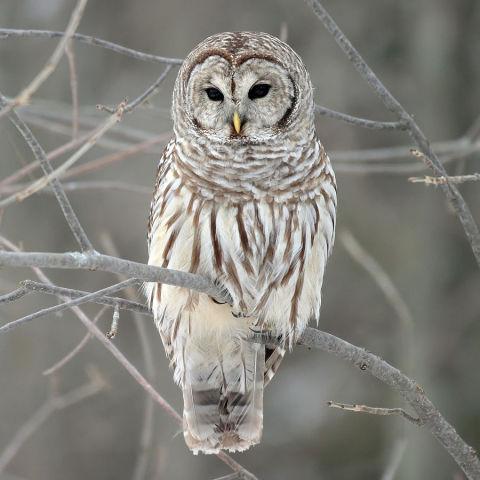 Barred Owl (Photo by Mdf/Creative Commons via Wikimedia)