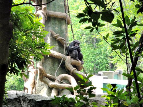 Animal Sanctuaries for Chimps: 50 test chimps will get to retire
