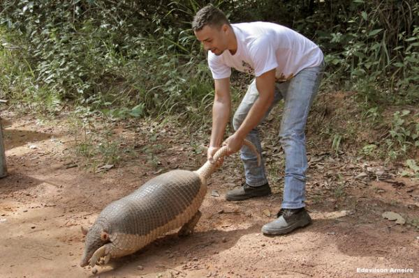 Oversized Armadillo Reported Roaming Through Brazilian Town