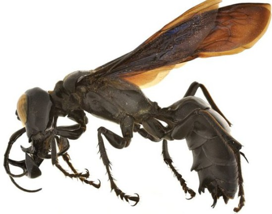 New species of wasp found in Sulawesi, Indonesia: image via dailymail.co.uk