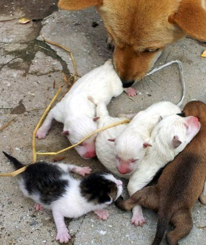 This kitten tries to figure out what he is doing in a litter of puppies!