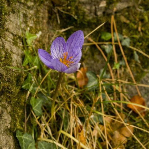 Poisonous Plants: 10 Outdoor Plants Poisonous To Cats: Autumn crocus is poisonous to cats