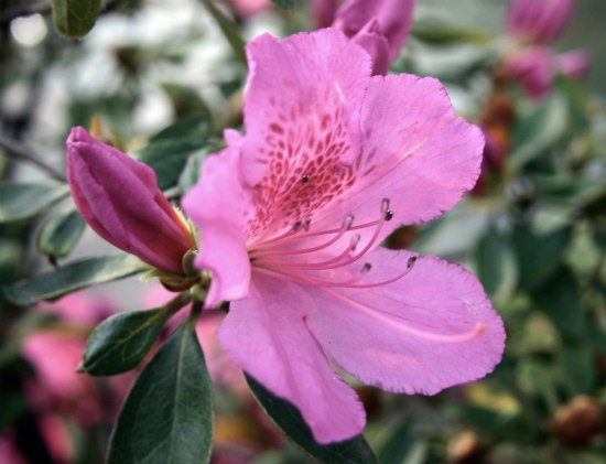 Poisonous Plants: 10 Outdoor Plants Poisonous To Cats: Azaleas can be poisonous to cats