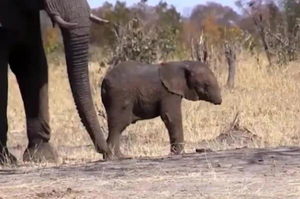 Trunk-less Baby Elephant May Not Survive