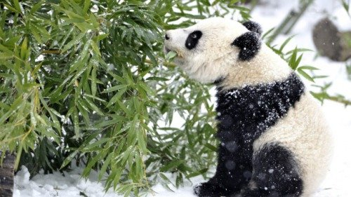 Baby Panda In The Snow