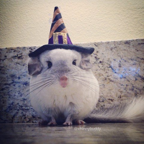 Mr. Bagel, the Chinchilla, Dressed for Halloween (Image via Facebook)