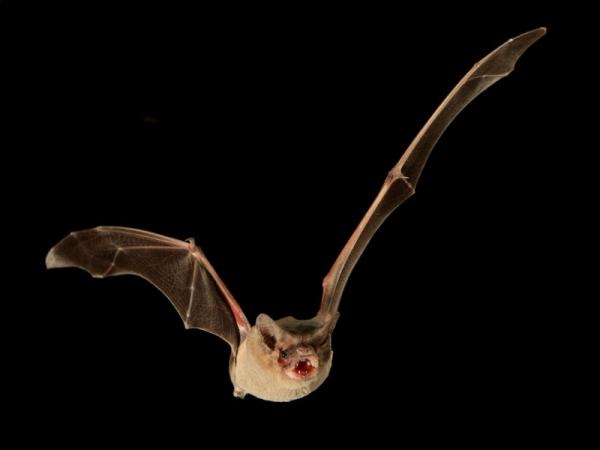 Bats Beat Birds When It Comes To Who Flies Fastest