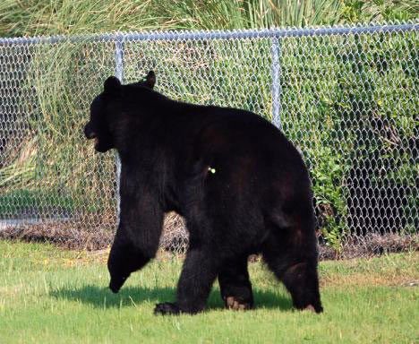 Black Bear With Tranquilizer Dart (Image via Don't Poke The Bear)