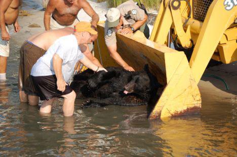 Black Bear Being Loaded For Transport (Image via Don't Poke The Bear)