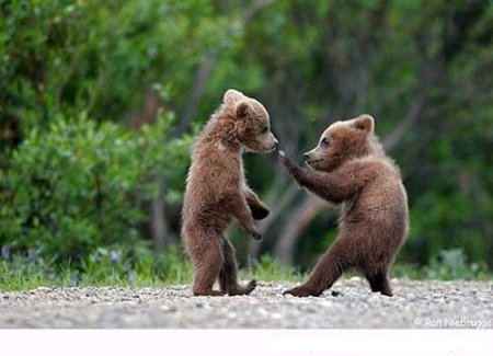 Two Bear Cubs Fighting: Source:Imfunny