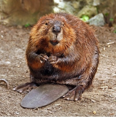 Beaver fathers are some of the best dads in the animal world
