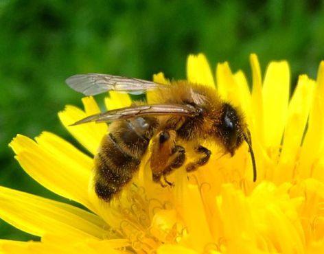 Busy Bee (Photo by Orangeaurochs/Creative Commons via Wikimedia)
