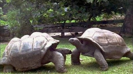 Bibi and Poldi, giant turtles at the Klagenfurt Zoo in Austria: image via brcko-24h.com