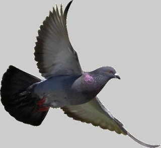 Pigeon in flight. How does he find his way back home?: image via gif-favicon.com