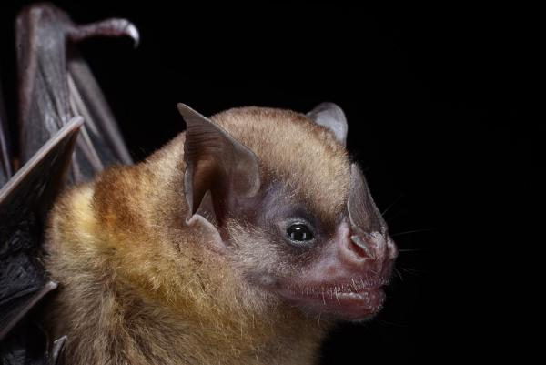 Tilda's Yellow-shouldered Bat