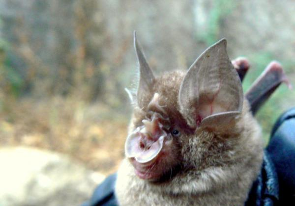 Blyth's Horseshoe Bat