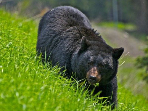 Grassy Black Bear