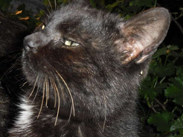 Black Cat (Photo by Mirandolese/Creative Commons via Wikimedia)