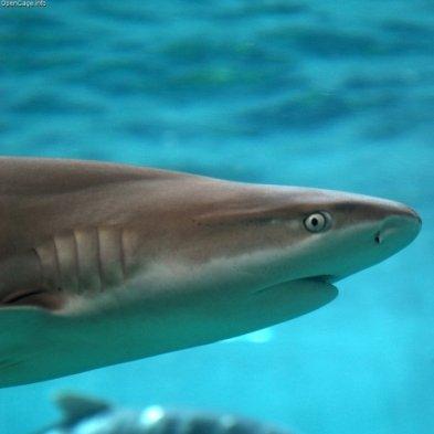 Different species of black tip shark are interbreeding