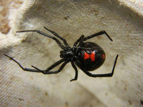 Black Widow Spider (Photo by Shenrich91/Creative Commons via Wikimedia)
