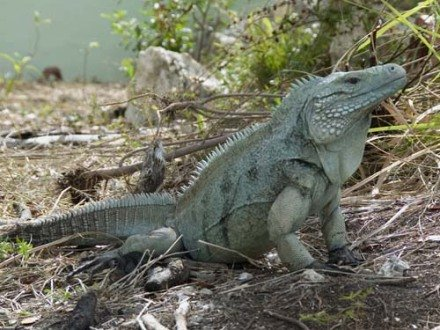 Blue Iguana (Photo by BIRP/Creative Commons via Wikimedia)