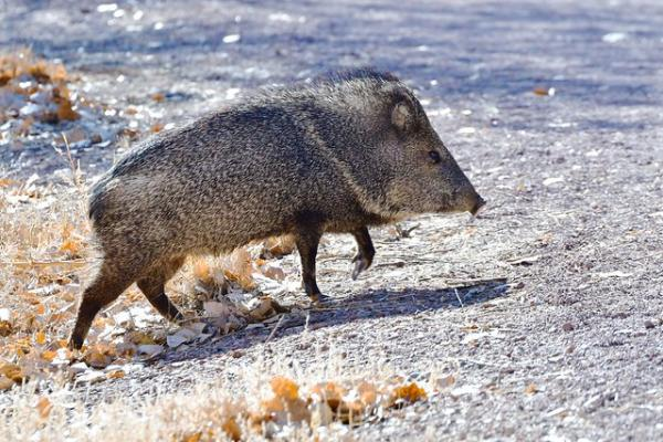 Animals Of The U.S. Southern Border: Javelinas