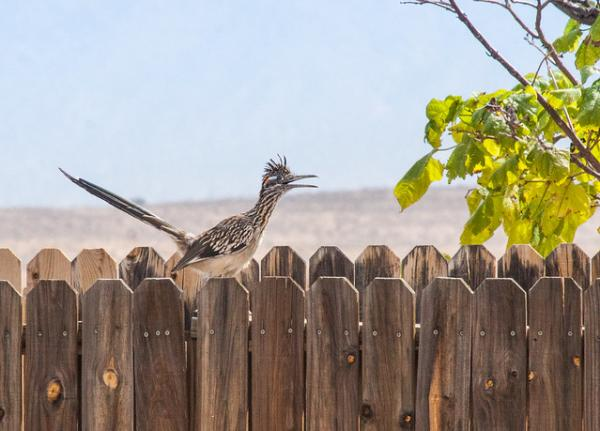 Animals Of The U.S. Southern Border: Roadrunners