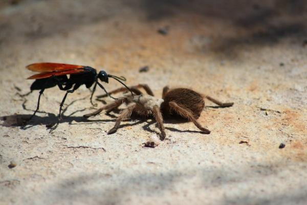 Animals Of The U.S. Southern Border: Tarantula Hawks