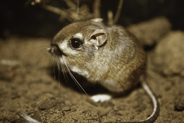 Animals Of The U.S. Southern Border: Kangaroo Rats