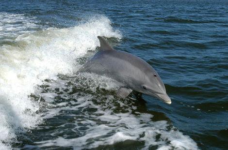 Bottlenose Dolphin (Public Domain Image)