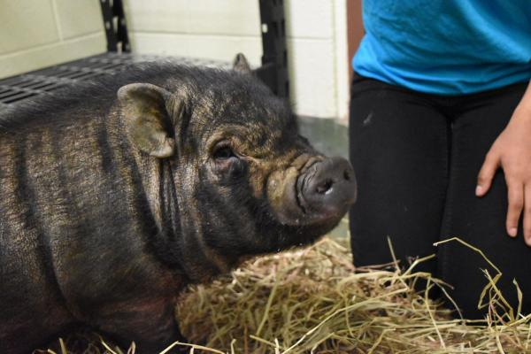 Lost Pot-Bellied Pig Brings The Zoo To The Bronx