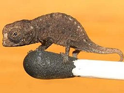 Brookesia micra, believed to be the smallest chameleon in the world: Photo by Jörn Köhler via cnews.canoe.ca
