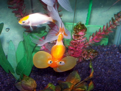 Starter Pets for Kids: Bubble Eye Goldfish & Comet for starter pets