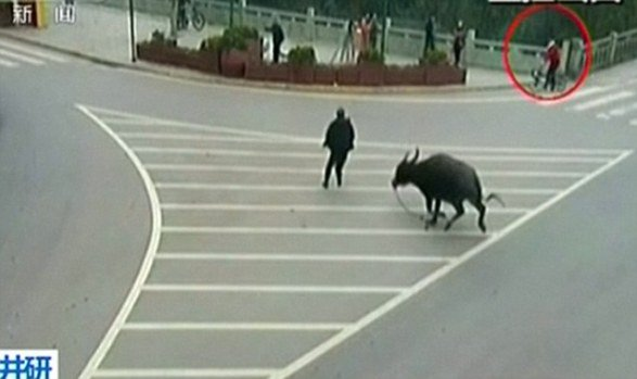 Water Buffalo On The Rampage (You Tube Image)