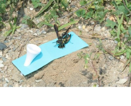 Cerceris fumipennis with Emerald Ash Borer prey: Image courtesy of Philip Careless