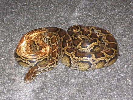 Burmese Python in the Everglades (Public Domain Image)