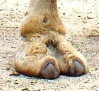 Camel's Foot (Public Domain Image)