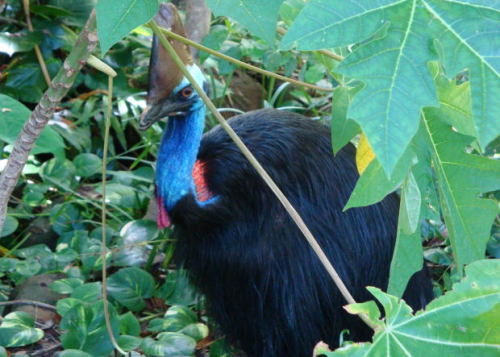 How to Attract Cassowaries to your Backyard Garden, by Arnold Carreiro