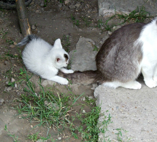 cats communicate through their tails