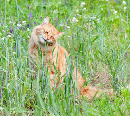 Cat Eating Grass (Photo by Dwight Sipler/Creative Commons via Wikimedia)