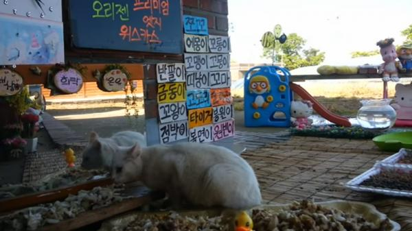 Cats Meok Bang, a live stream of stray cats eating at a charmingly furnished outdoor feeding station