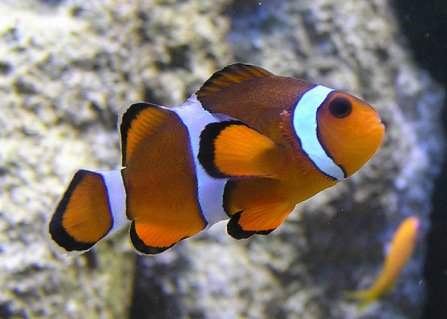 Clown Fish (Public Domain Image)