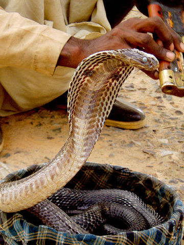 Cobra and Snake Charmer (Photo by Gregor Younger/Creative Commons via Wikimedia)