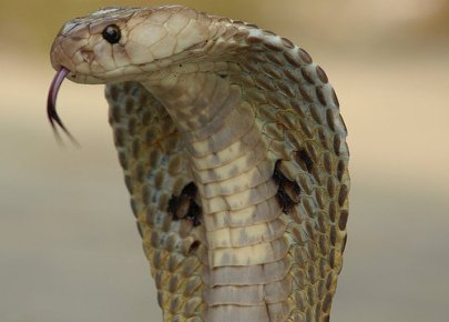 Indian Cobra (Photo by Kamalnv/Creative Commons via Wikimedia)