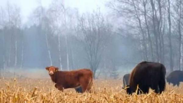 Runaway Cow Hooks Up With Herd Of Bison
