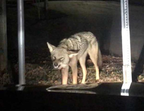 Snarling Coyote Puts The Bite On Family's Car