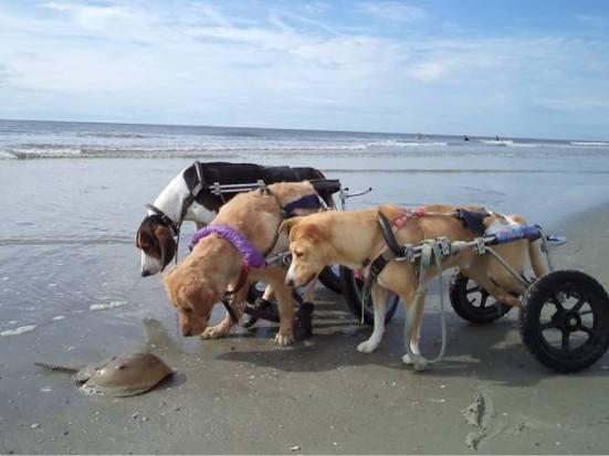Wheelchair Dogs on the Beach (Image via GodFruits)