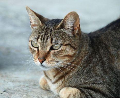 Tabby Cat (Photo by Alvesgaspar/Creative Commons via Wikimedia)