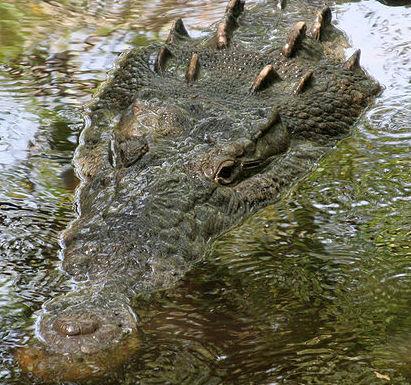 American Crocodile (Photo by Tomás Castelazo/Creative Commons via Wikimedia)